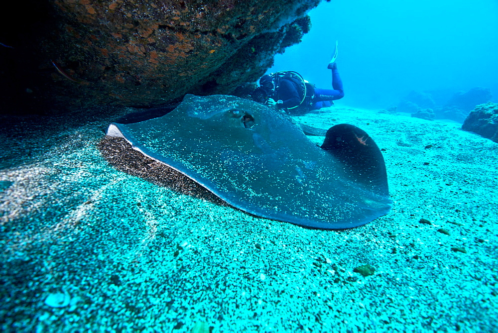 Round Stingray and Diver, Azores Atlantic Ocean