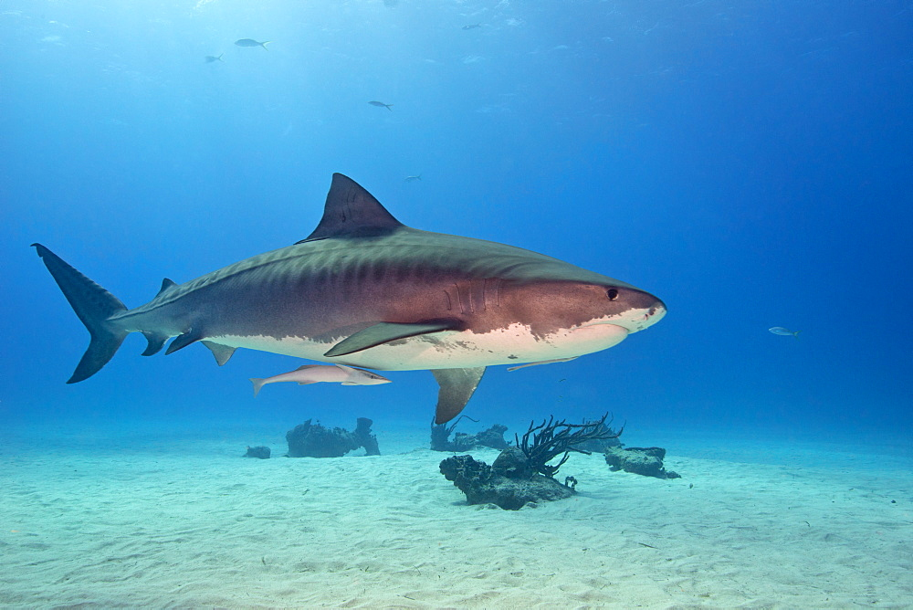 Tiger shark swimming above a sandy bottom, Bahamas