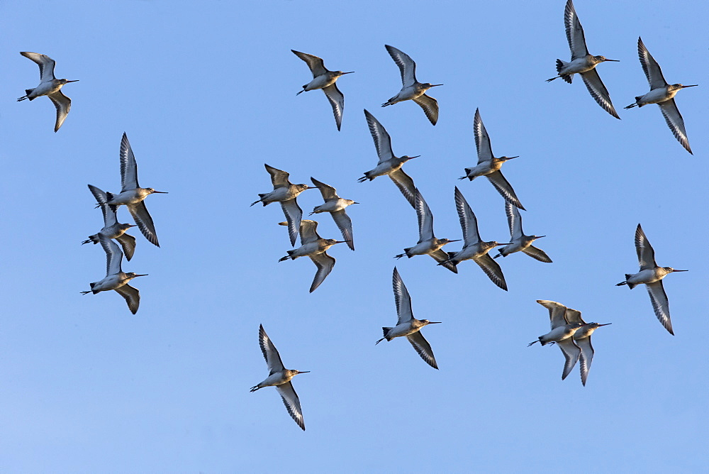 Flock of Balck-tailed Godwits in flight in winter, GB