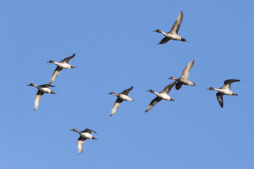 Flock of Pintails in flight in winter, GB