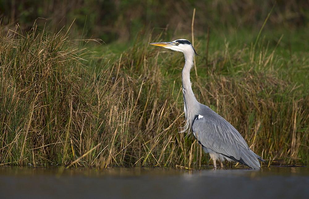 Grey Heron looking for food in autumn, GB
