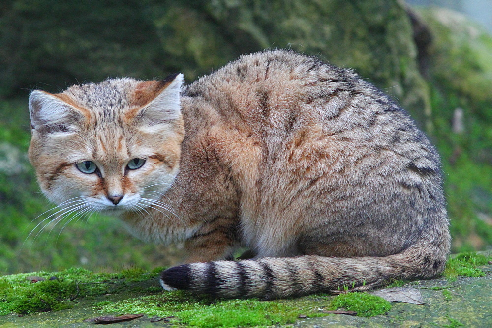 Sand cat lying on moss