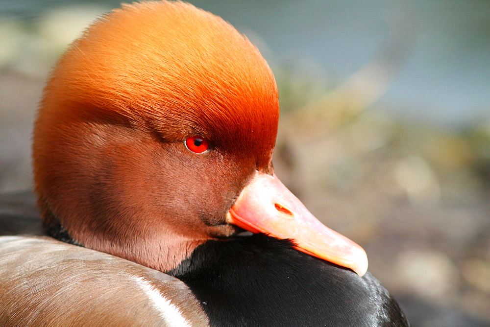 Portrait of male Red-crested Pochard, France