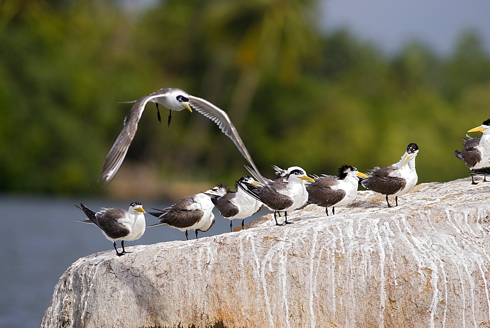 Great Crested Terns on rock, Sri Lanka