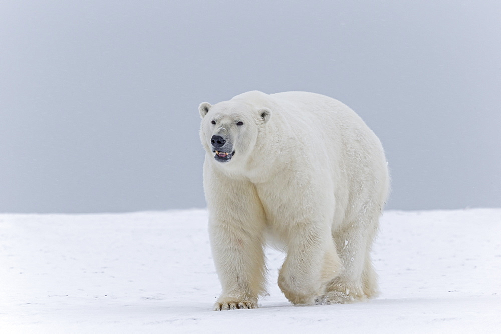 Male polar bear on the ice, Barter Island Alaska