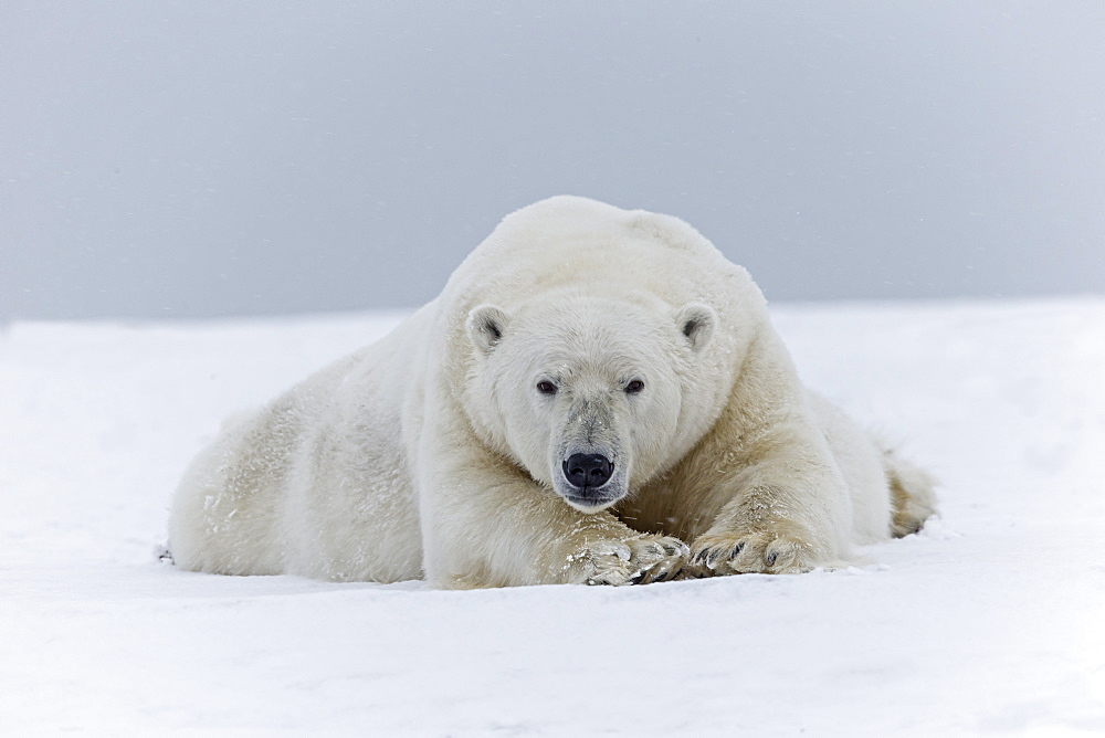 Polar bear male lying on the ice, Barter Island Alaska