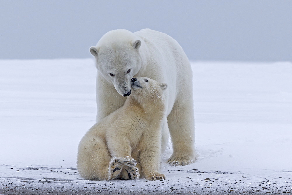 Polar bear and young on the ice, Barter Island Alaska