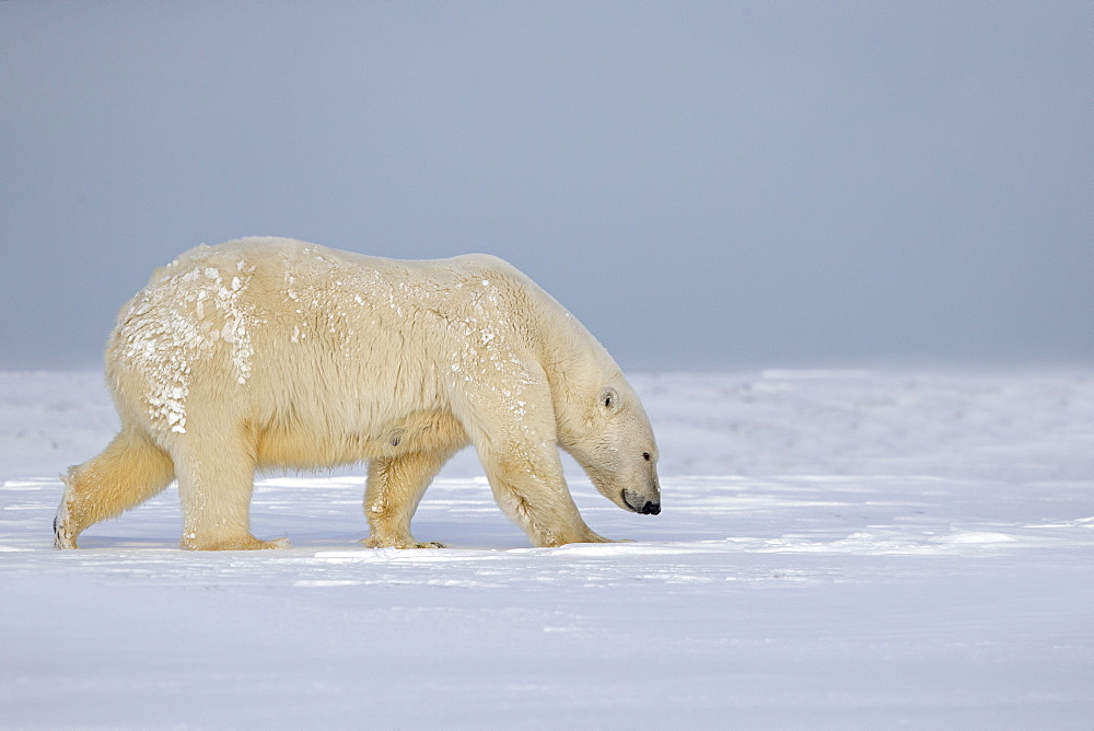 Polar bear walking on ice, Barter Island Alaska