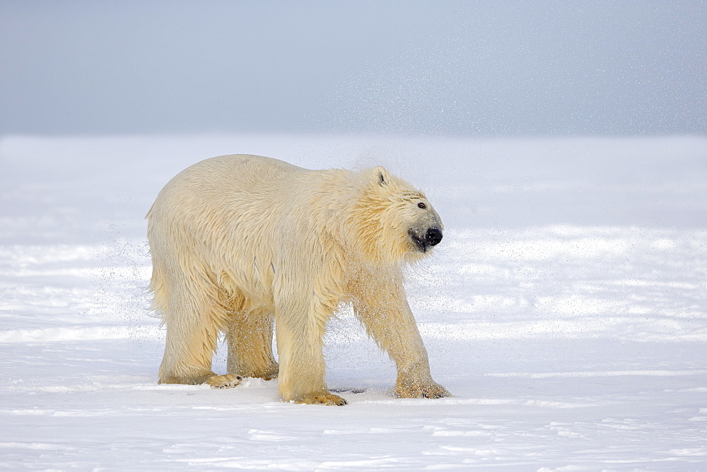 Polar Bear snorting on the ice, Barter Island Alaska