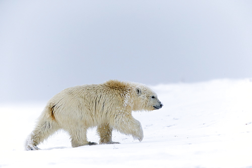 Polar Bear walking on the ice, Barter Island Alaska