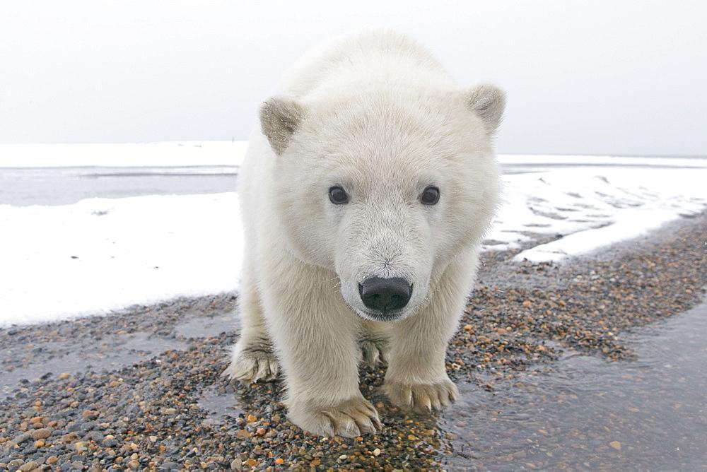 Polar bear at the water's edge, Barter Island Alaska