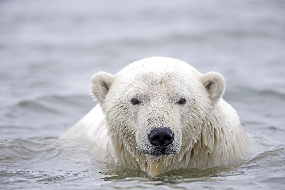 Portrait of Polar bear in water, Barter Island Alaska