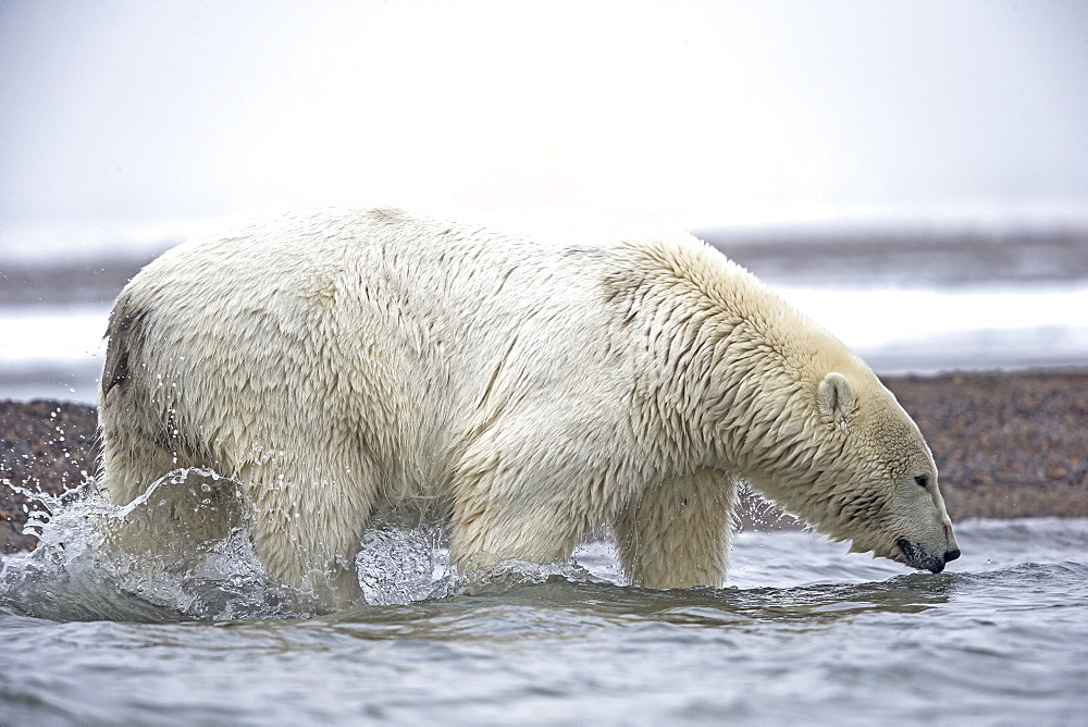 Polar bear walking in water, Barter Island Alaska