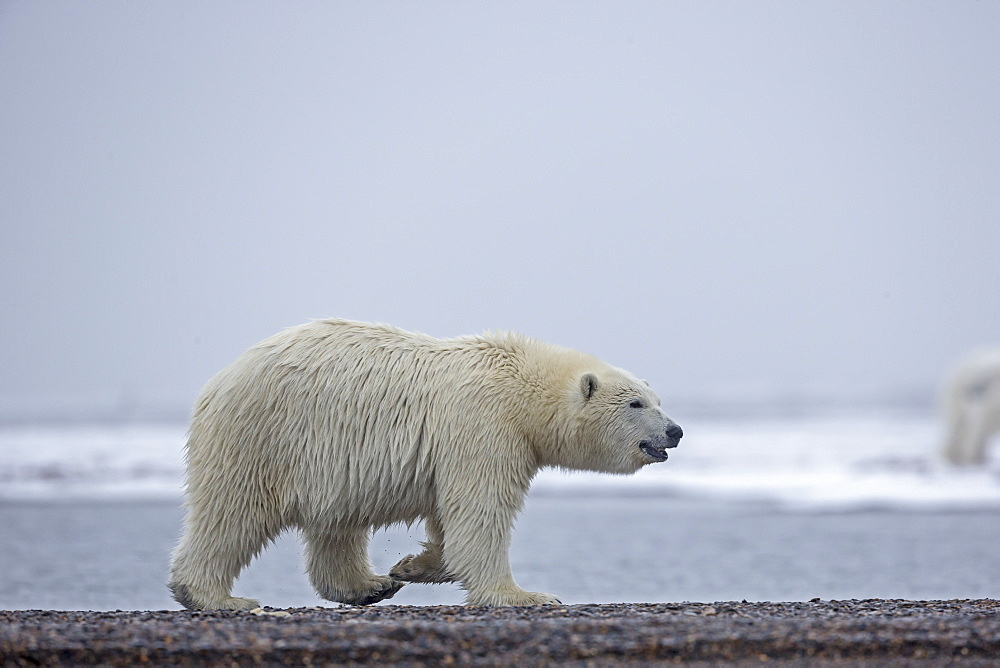 Polar bear walking on shore, Barter Island Alaska