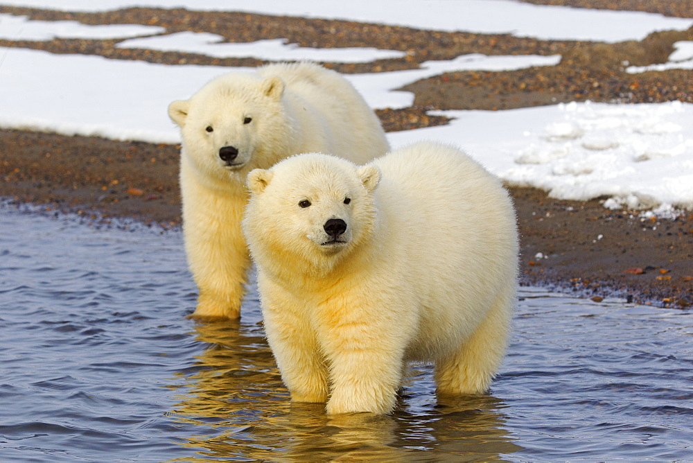Polar bears in water, Barter Island Alaska