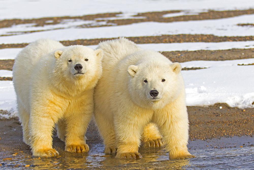 Polar bears on shore, Barter Island Alaska  - 860-283062