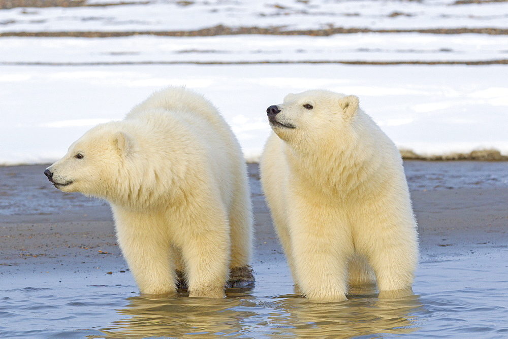 Polar bears in water, Barter Island Alaska  - 860-283063