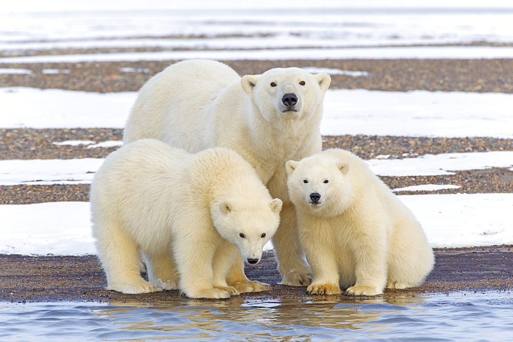 Polar bear and young on shore, Barter Island Alaska  - 860-283066