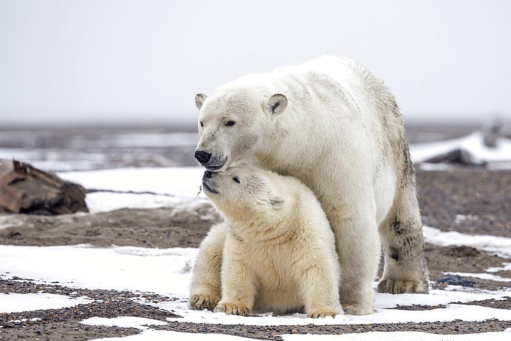 Polar bear and young on shore, Barter Island Alaska