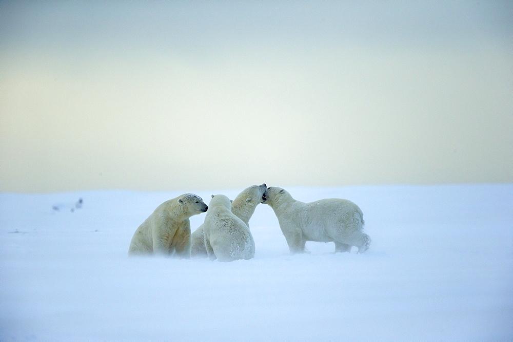Polar bears playing on snow, Barter Island Alaska
