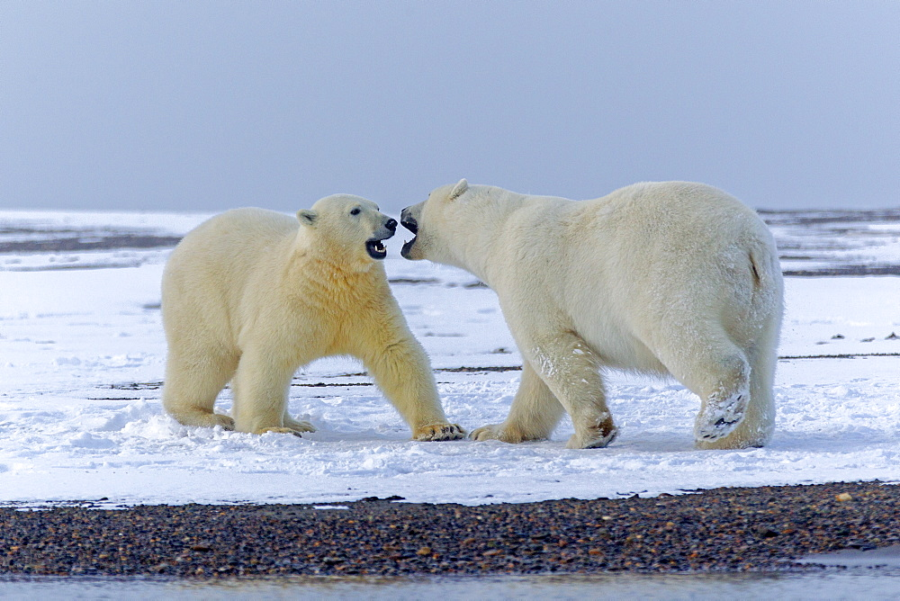 Polar bears playing on shore, Barter Island Alaska