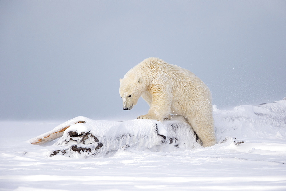 Young Polar bear in snow, Barter Island Alaska