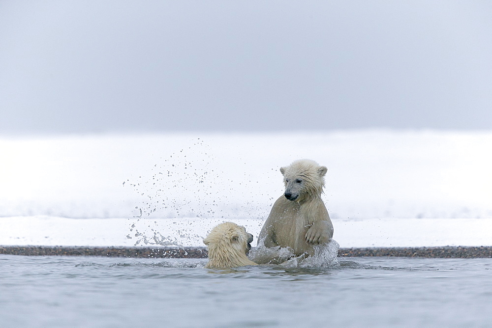 Polar bears playing in water, Barter Island Alaska