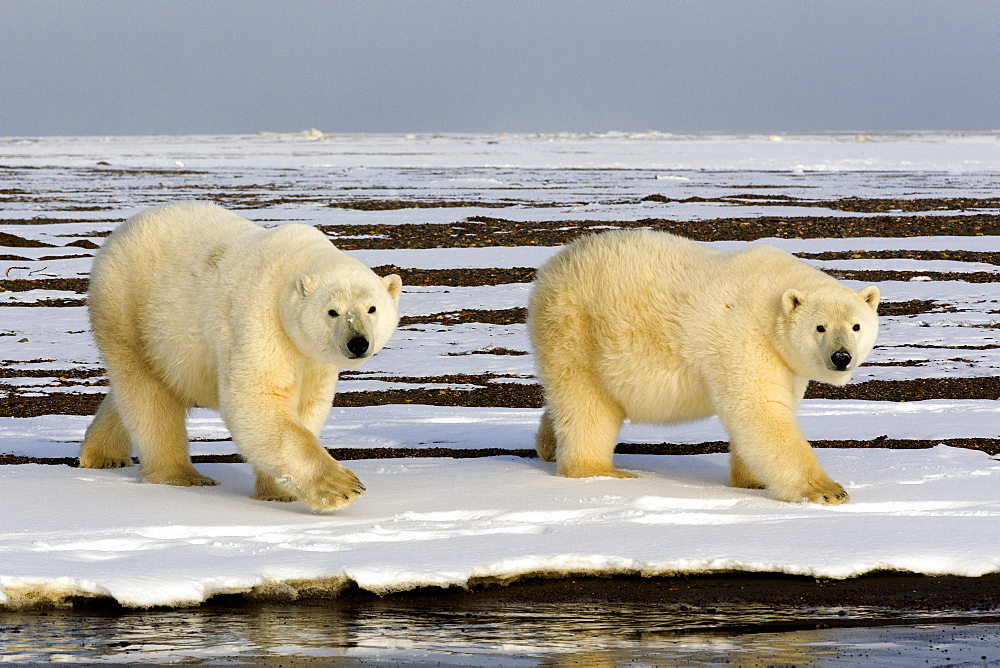 Polar bears walking on shore, Barter Island Alaska