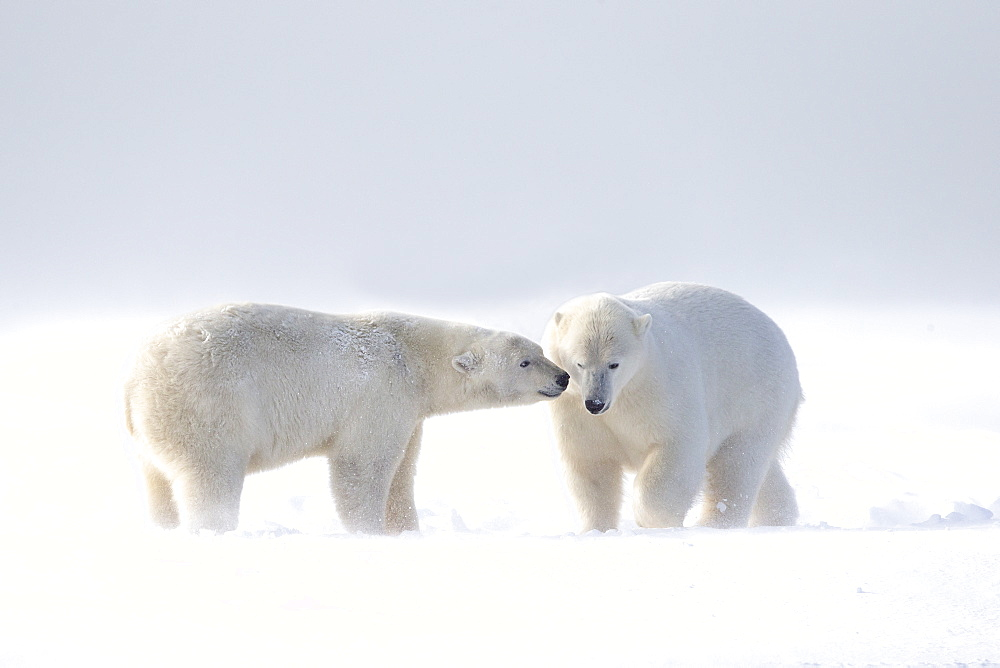 Polar bear and young playing in snow, Barter Island Alaska