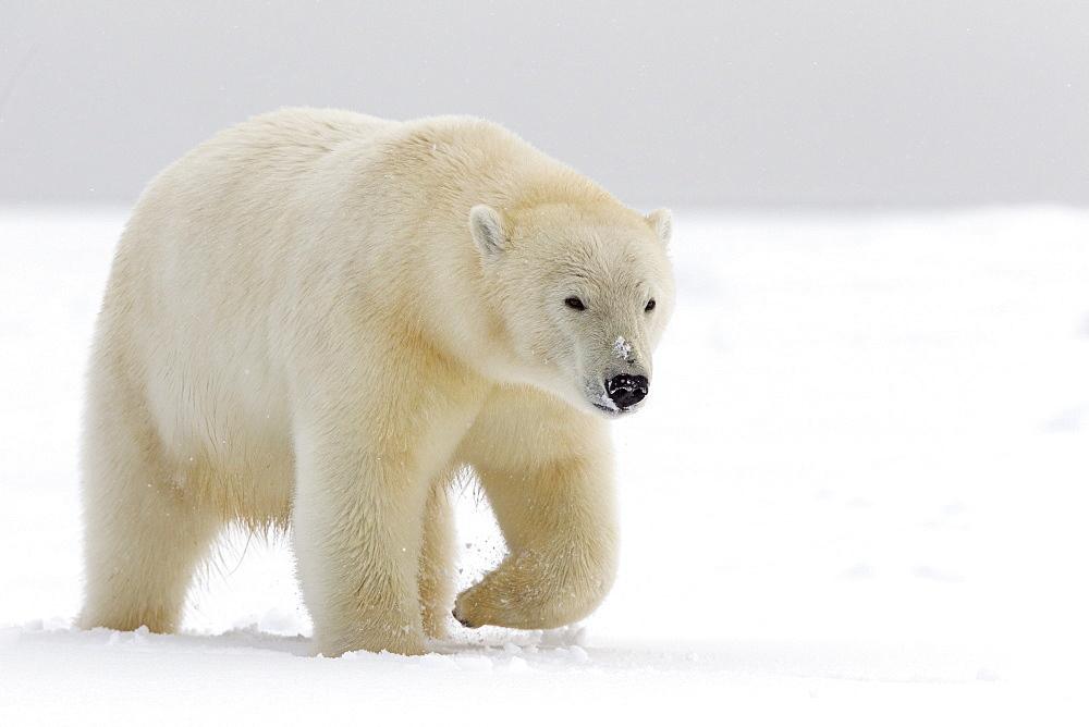 Polar bear walking in the snow, Barter Island Alaska