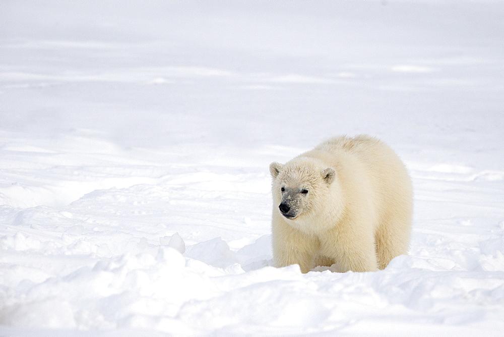 Polar bear sitting in snow, Barter Island Alaska