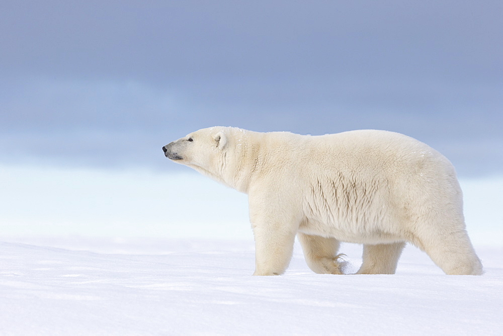 Polar bear walking in snow, Barter Island Alaska