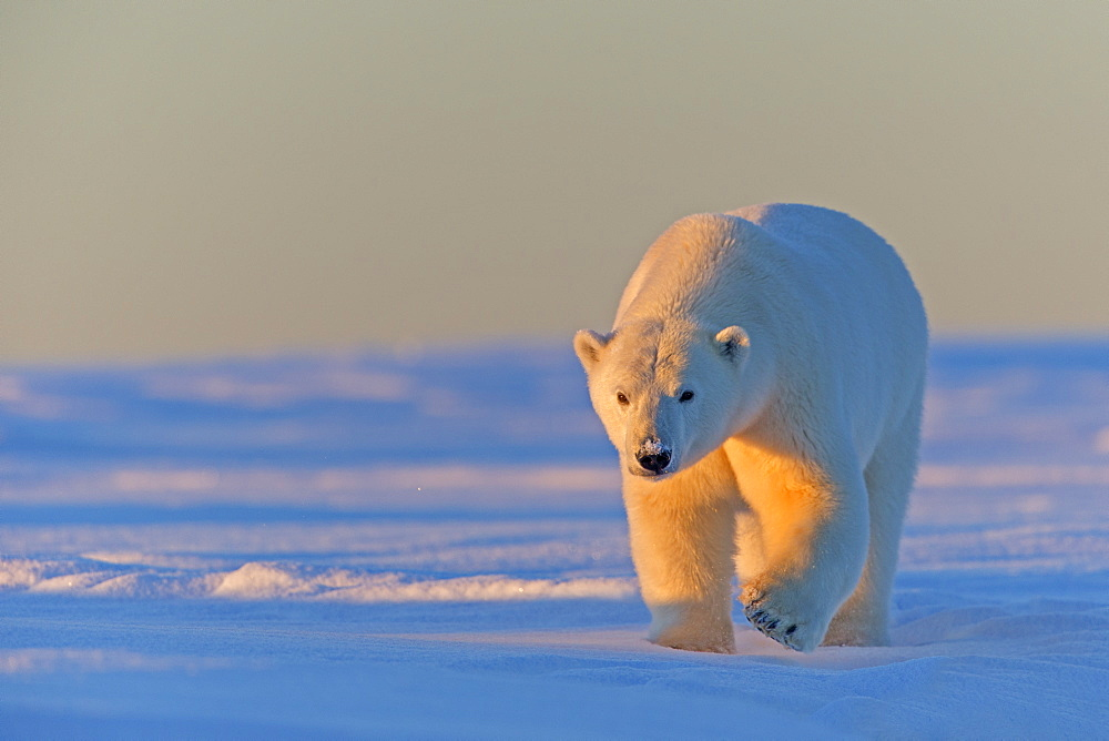 Polar bear walking in snow, Barter Island Alaska