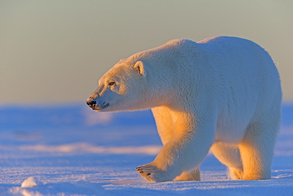 Polar bear walking in snow, Barter Island Alaska  - 860-283105