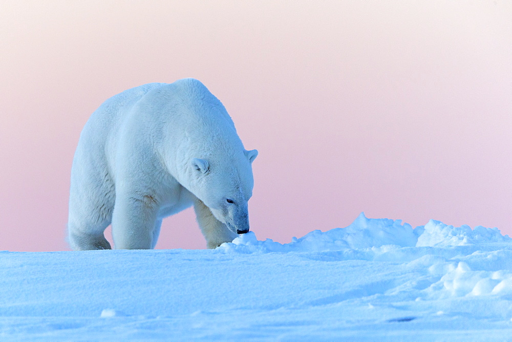 Polar bear walking in snow, Barter Island Alaska  - 860-283106
