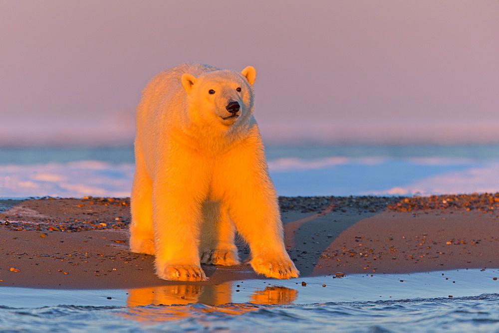 Polar bear on the shore in the evening, Barter Island Alaska