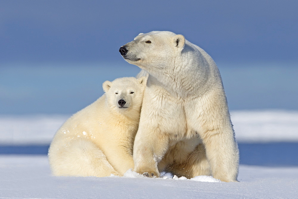 Polar bear and young in the snow, Barter Island Alaska