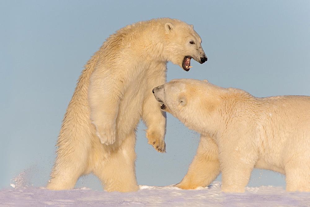 Polar Bears playing in the snow, Barter Island Alaska