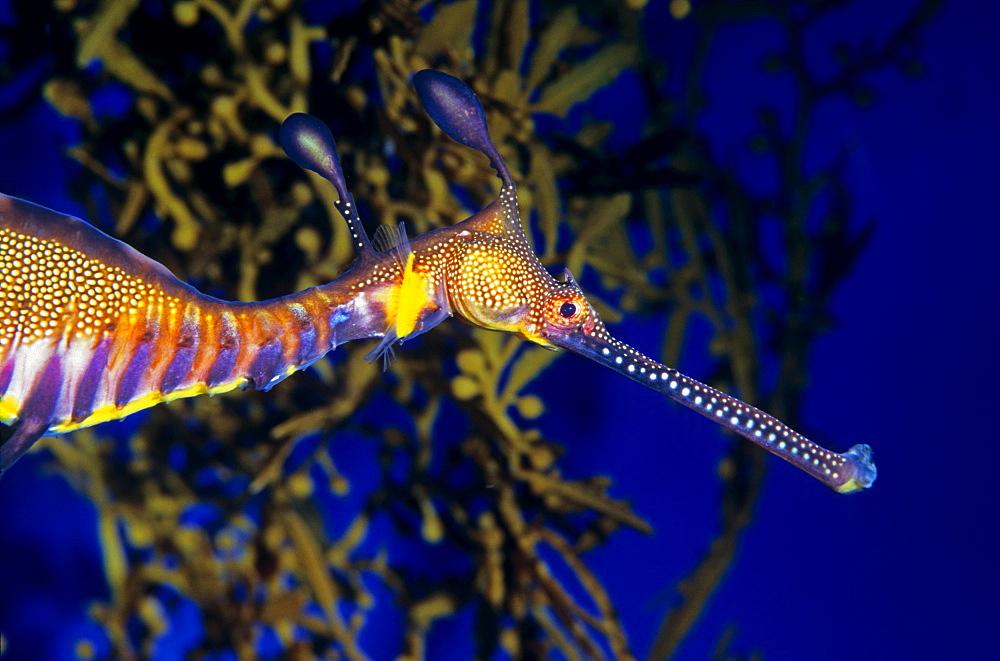 Portrait of Common sea dragon, Aquarium Singapore