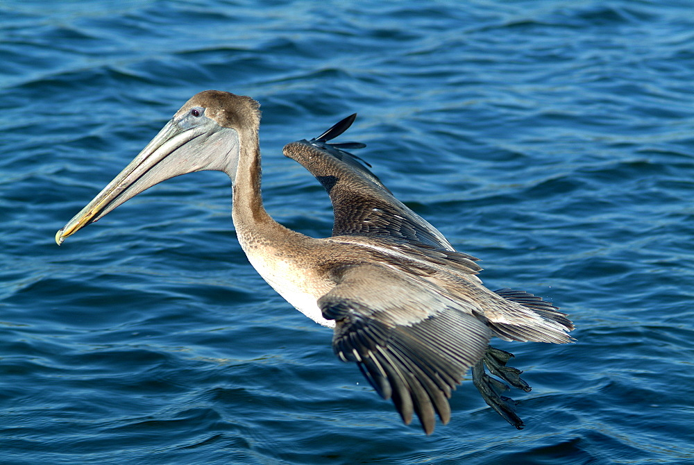 Brown pelican in flight, River Homossassa Florida USA