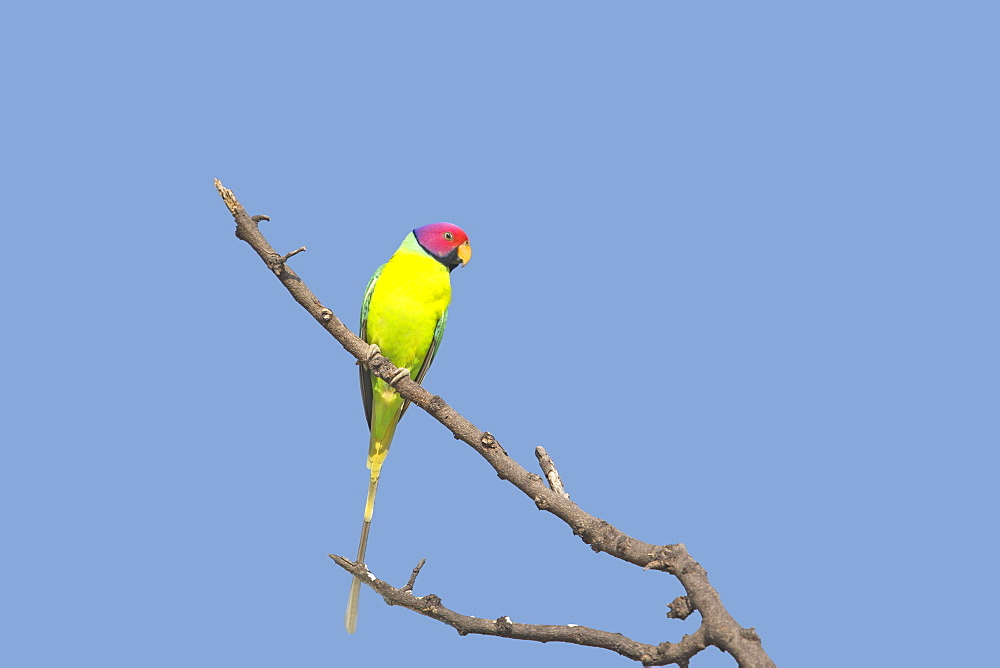 Plum-headed Parakeet on a branch, Bera Rajasthan India