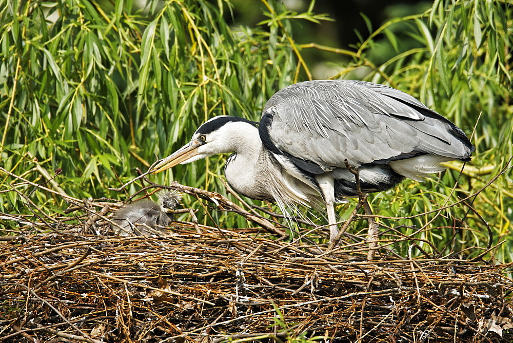 Grey Heron and young in nest at spring, United Kingdom