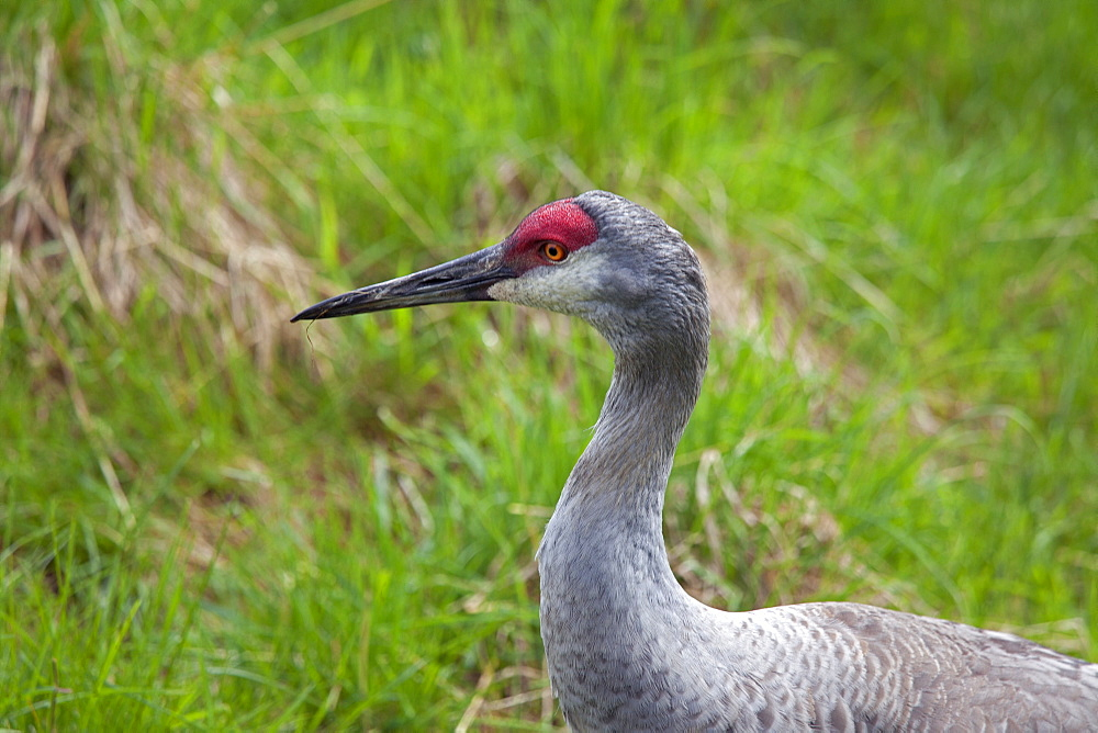 Portrait of Crane, Zoo St-Félicien Canada