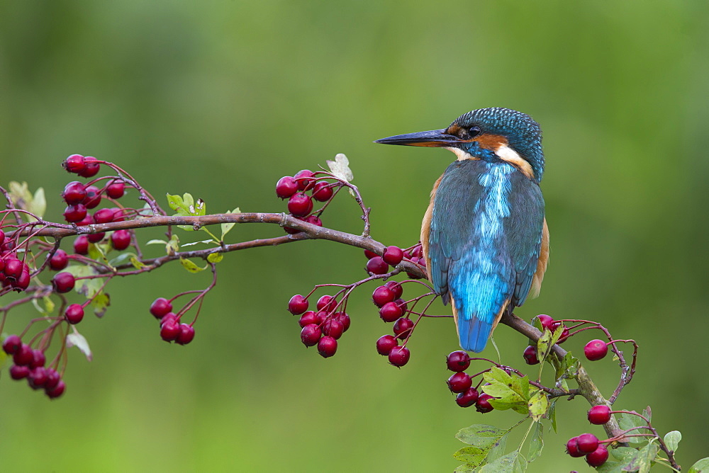 Kingfisher perched on a branch of Hawthorn in autumn, GB
