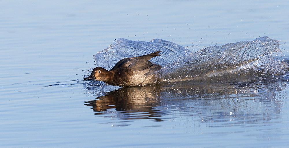 Male Pochard landing on water in winter, GB