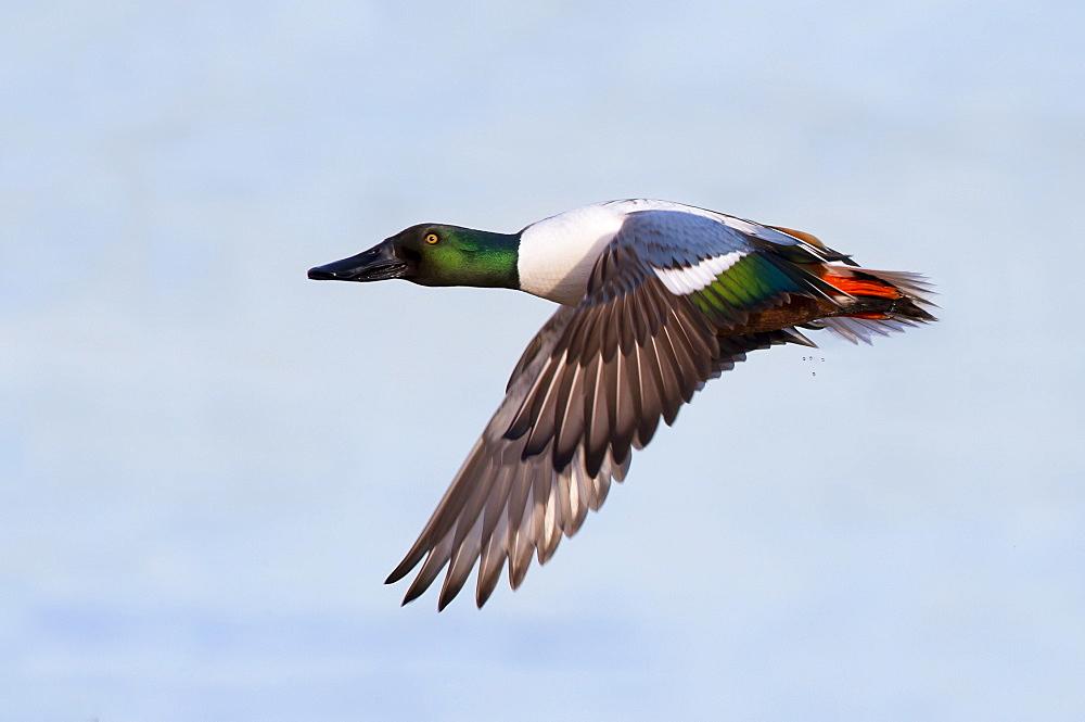 Male Shoveler in flight in winter, GB