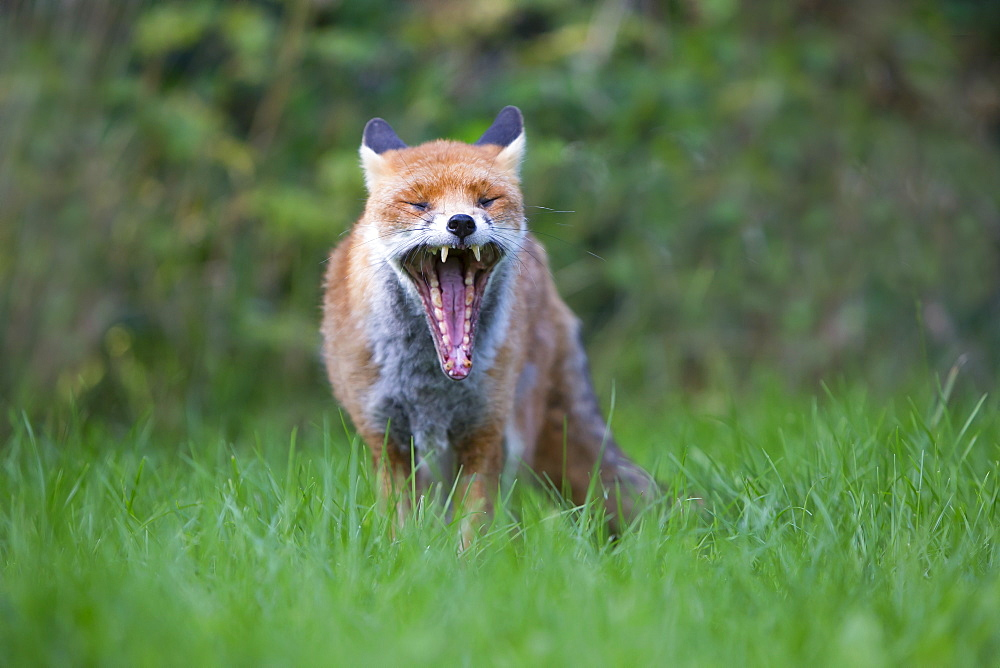 Red Fox yawning in summer, GB