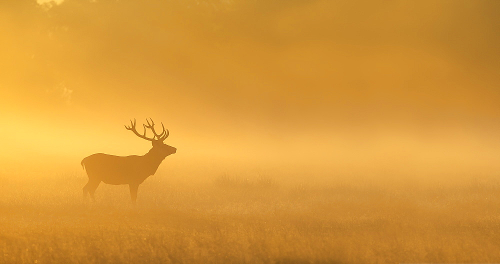 Stock photo of Red Deer in a clearing at sunrise in autumn