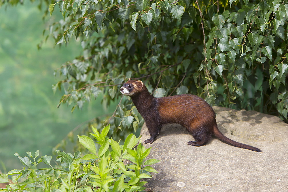 Polecat standing on a large stone in summer, GB