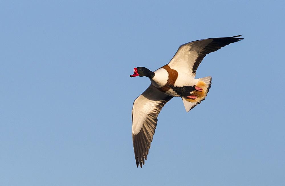Male Shelduck in flight in winter- GB